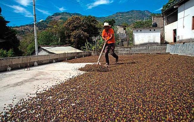 Lidera Chiapas producción nacional de café cereza:FEC
