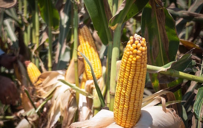 Acidez del suelo daña producción de maíz enChiapas