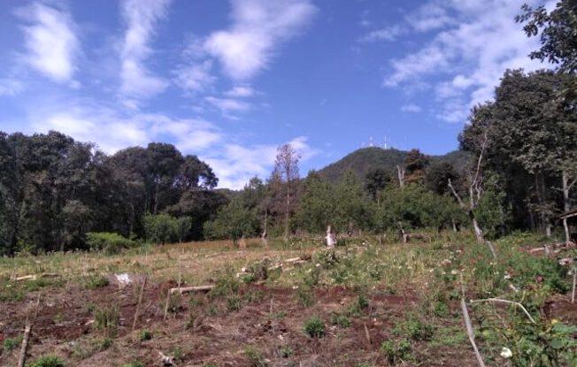Plantan siete mil árboles de encino en SanCristóbal